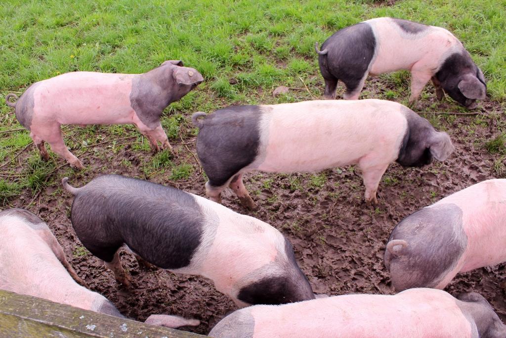 19 Schwein