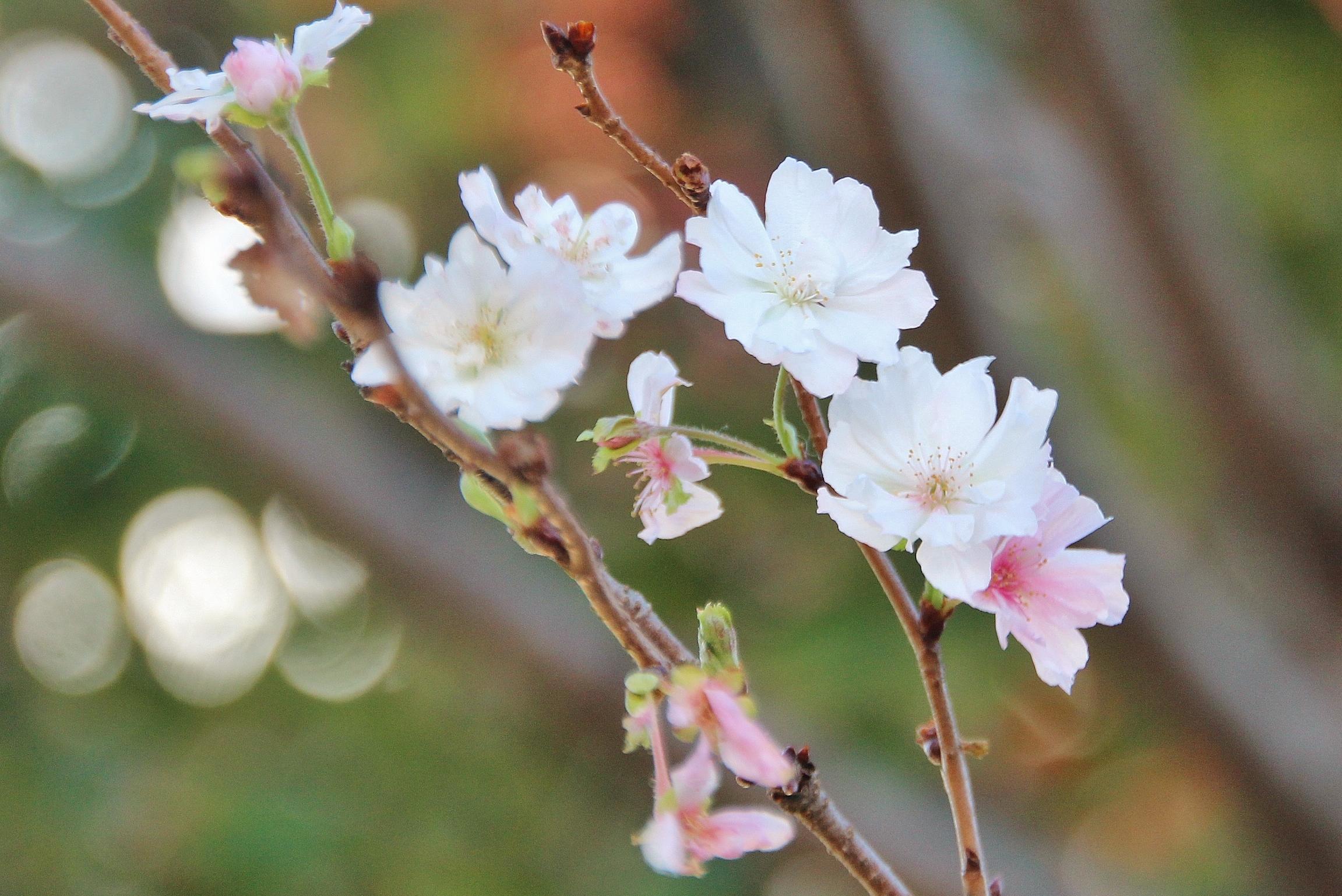 14 Kirschblüte