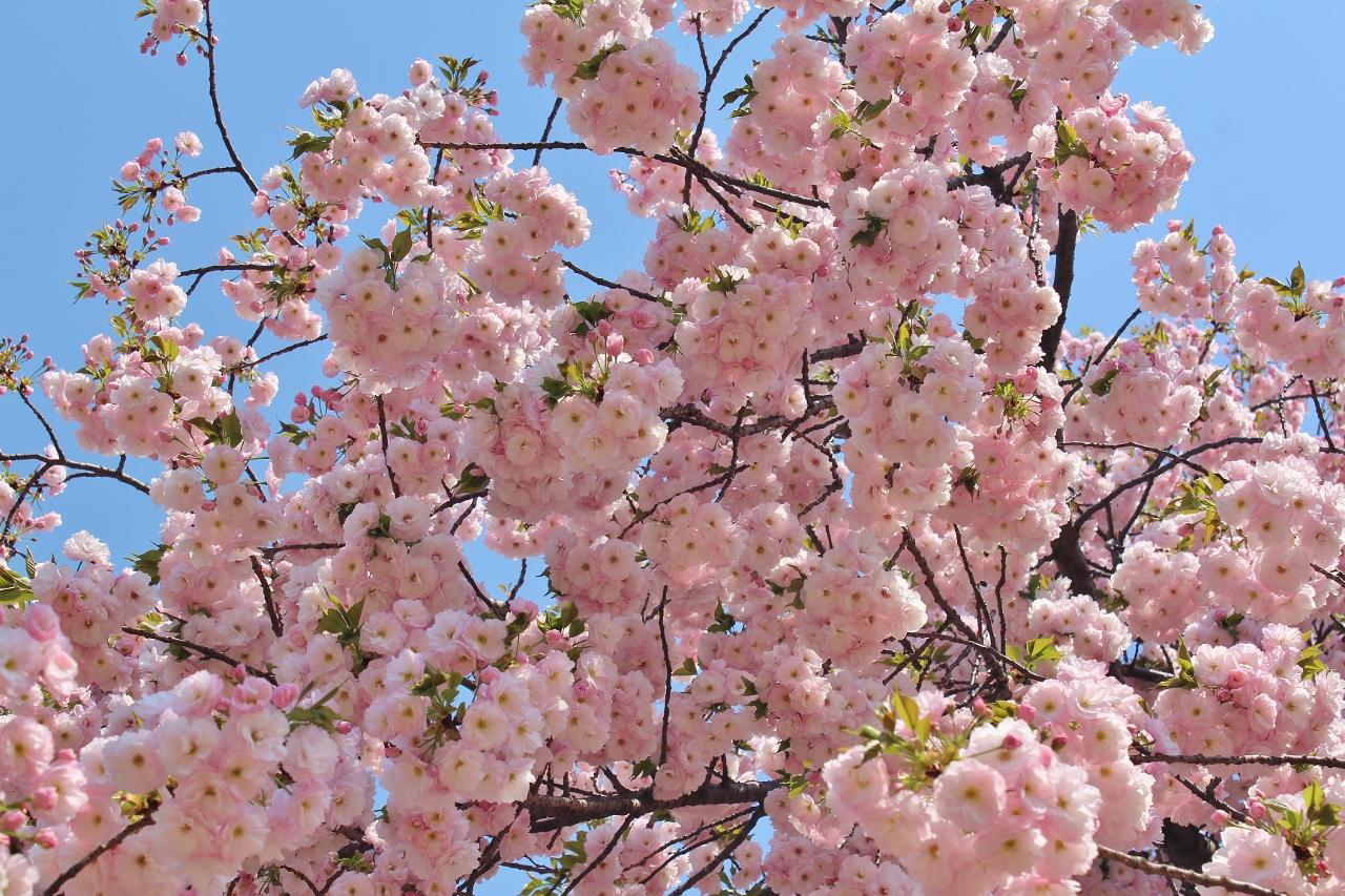 2 Sakura