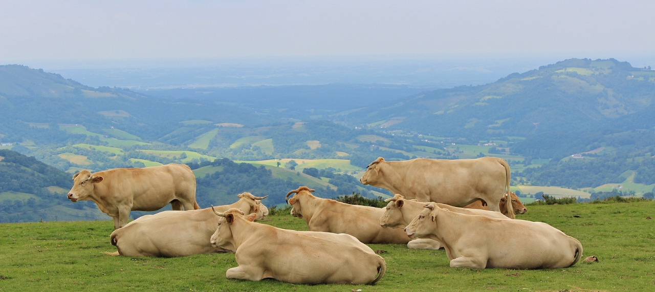Kühe im Béarn