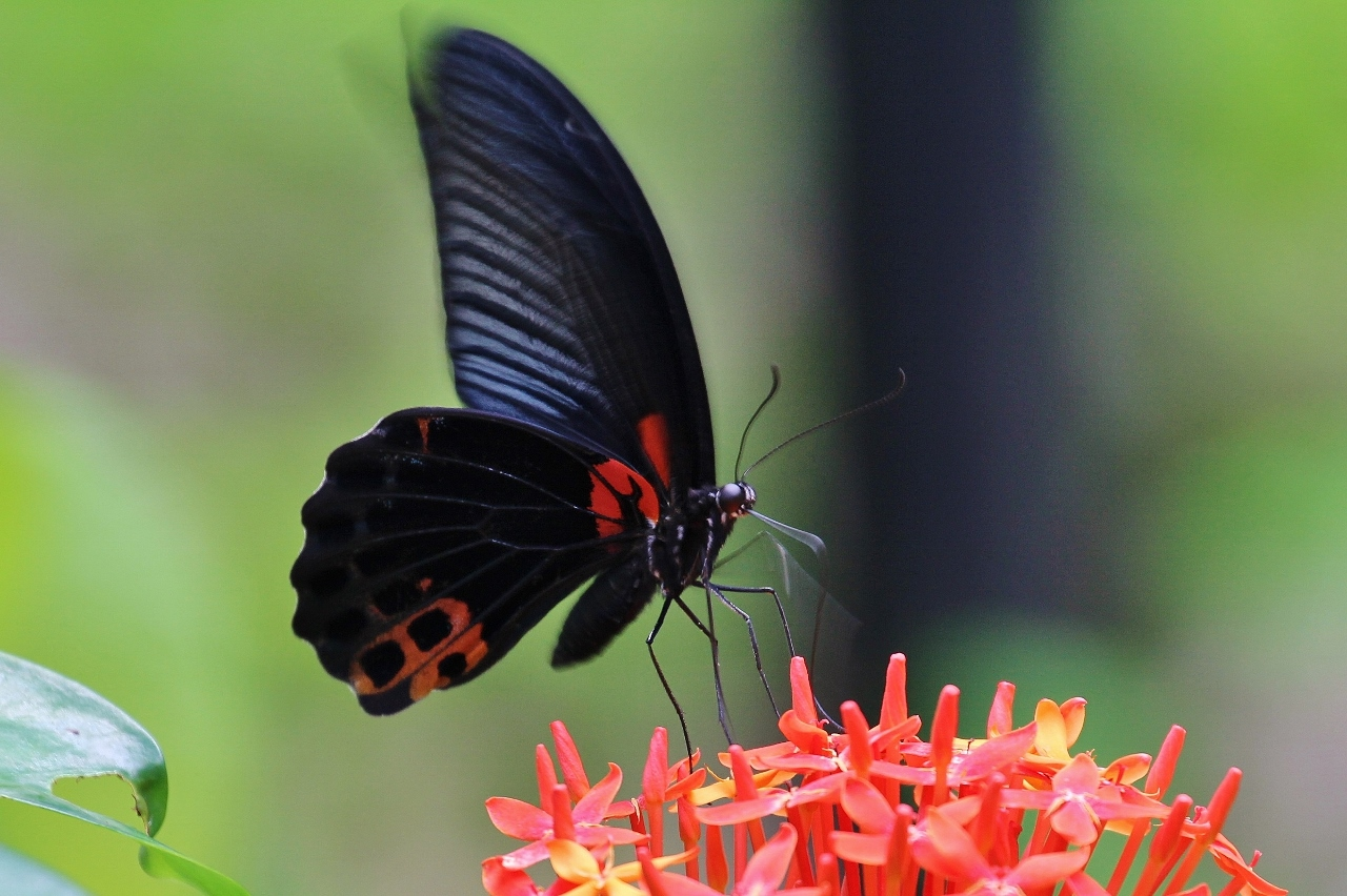 Great Mormon (Papilio memnon, male)