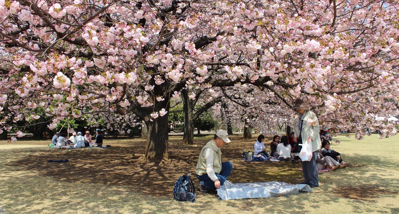Sakura im Shinjuku-gyoen