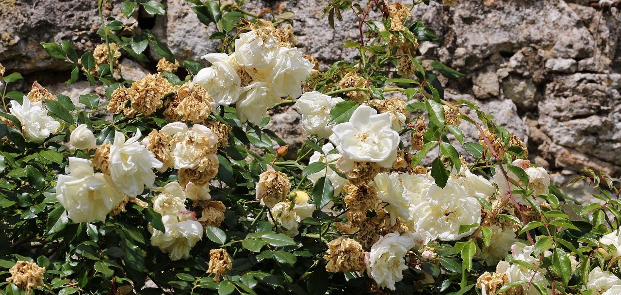 11 Weiße Rosen