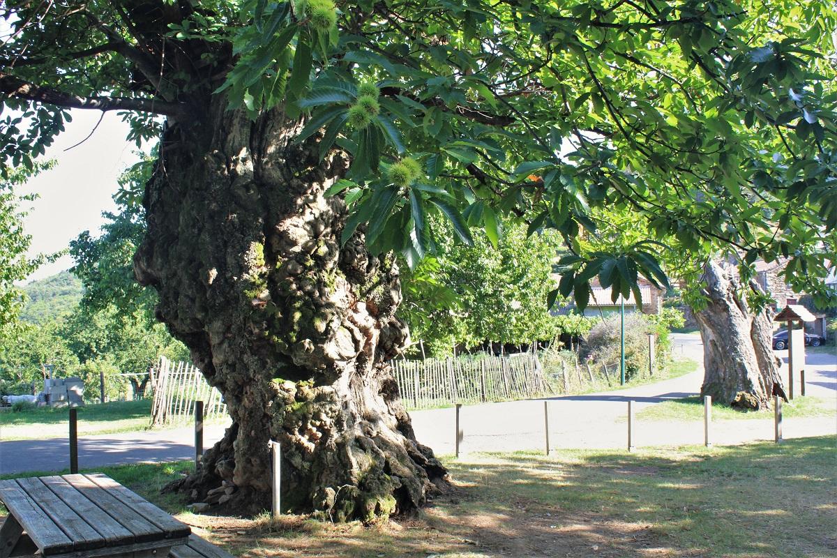 Cevennen Kastanienbaum Les Ayres