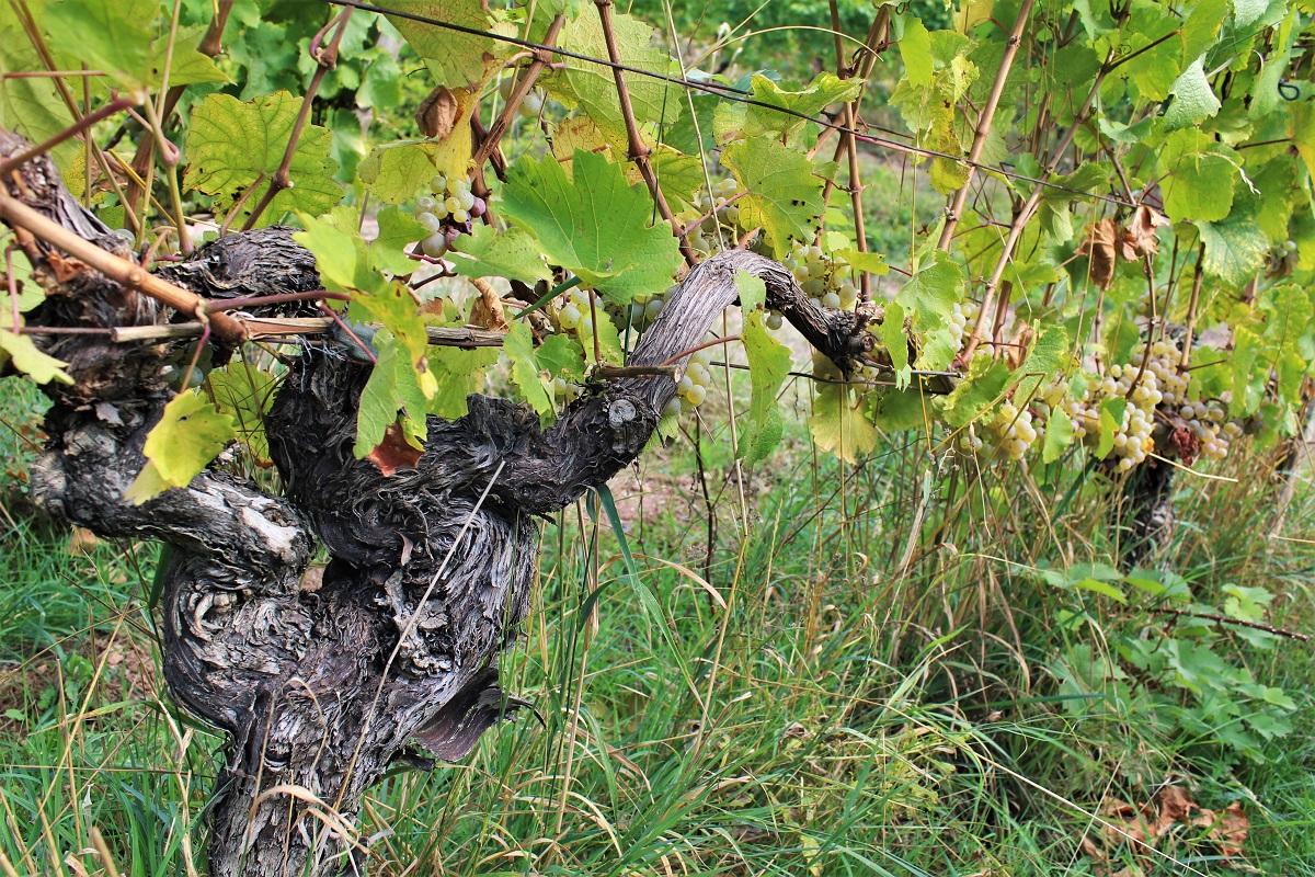 Weinreise Nahe Laubenheim Sankt Remigiusberg