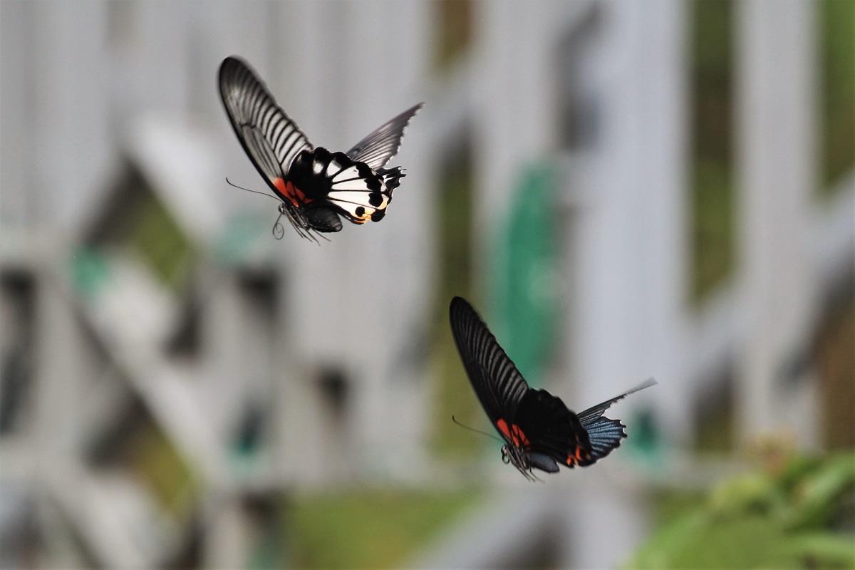 Hong Kong Park Butterflies Great Mormon