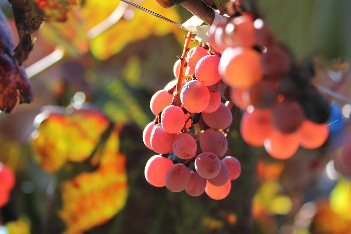 Koshu Grape Japan