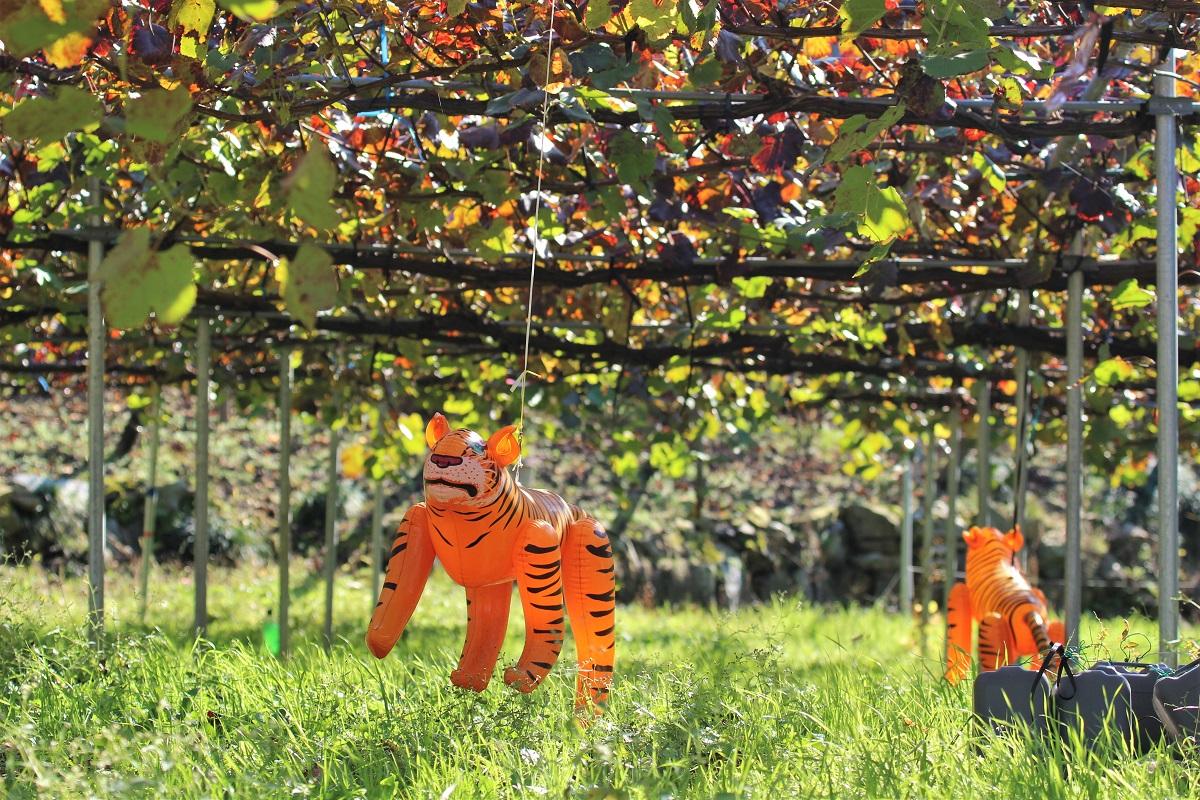 Koshu Japan Tiger