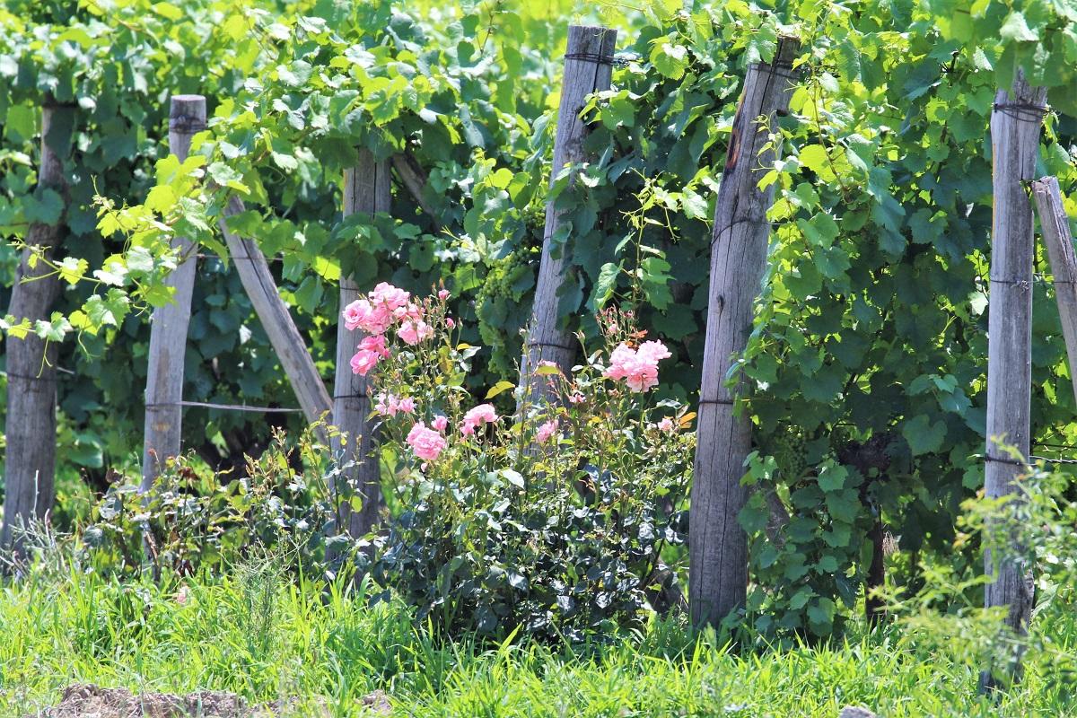 Rosen Wein Chateau Copsa Bulgarien