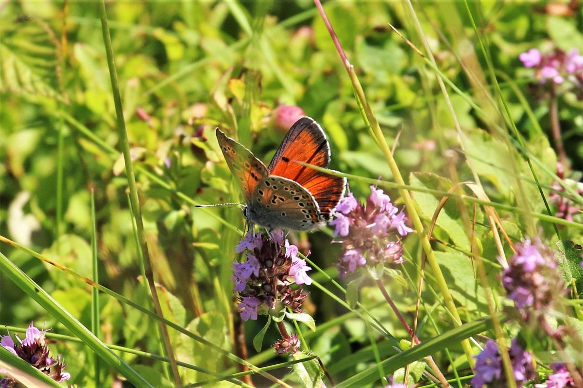Lycaena candens Schmetterling