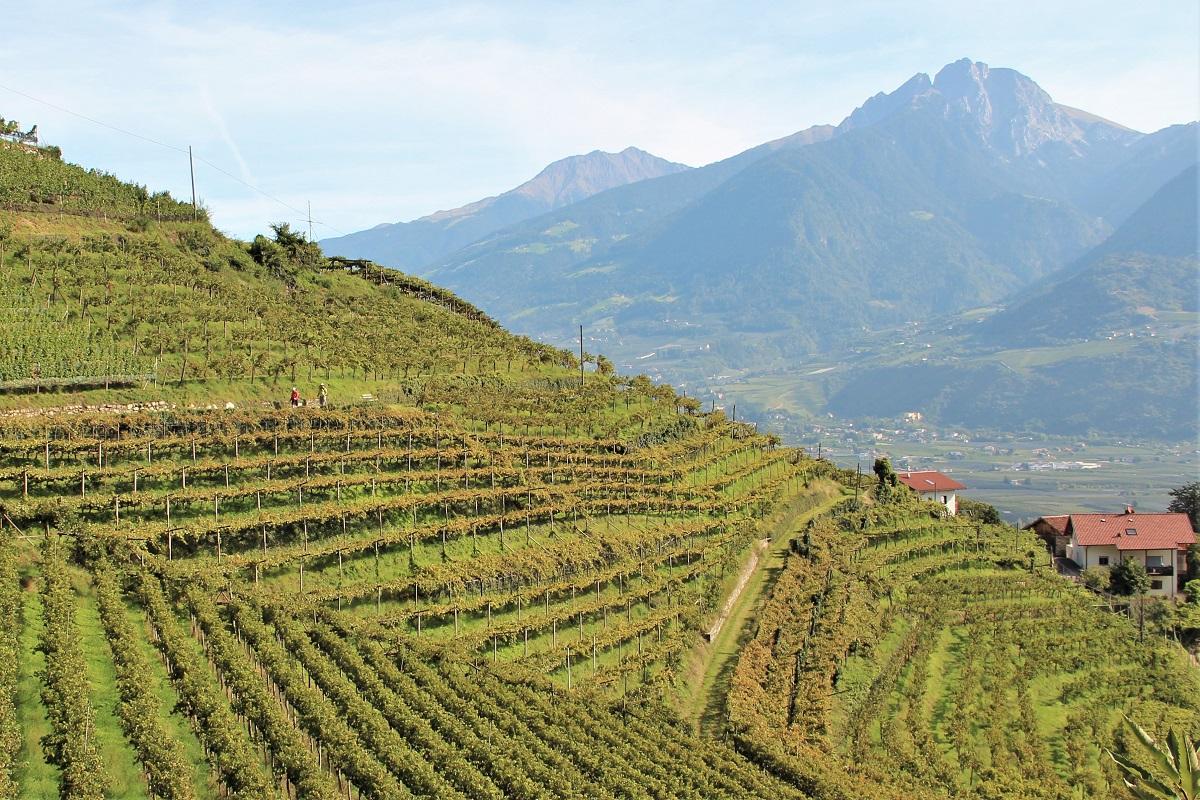 Südtirol Wein Pergola
