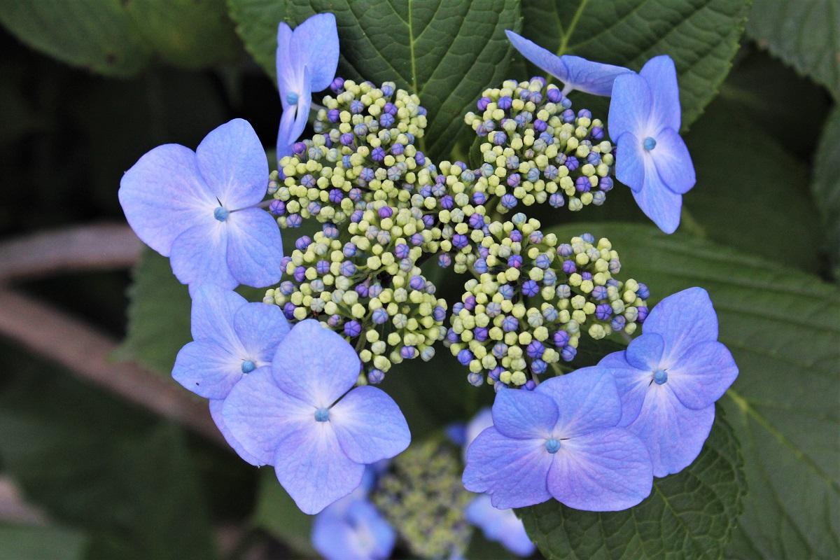 Hortensie Hydrangea Regenzeit Japan