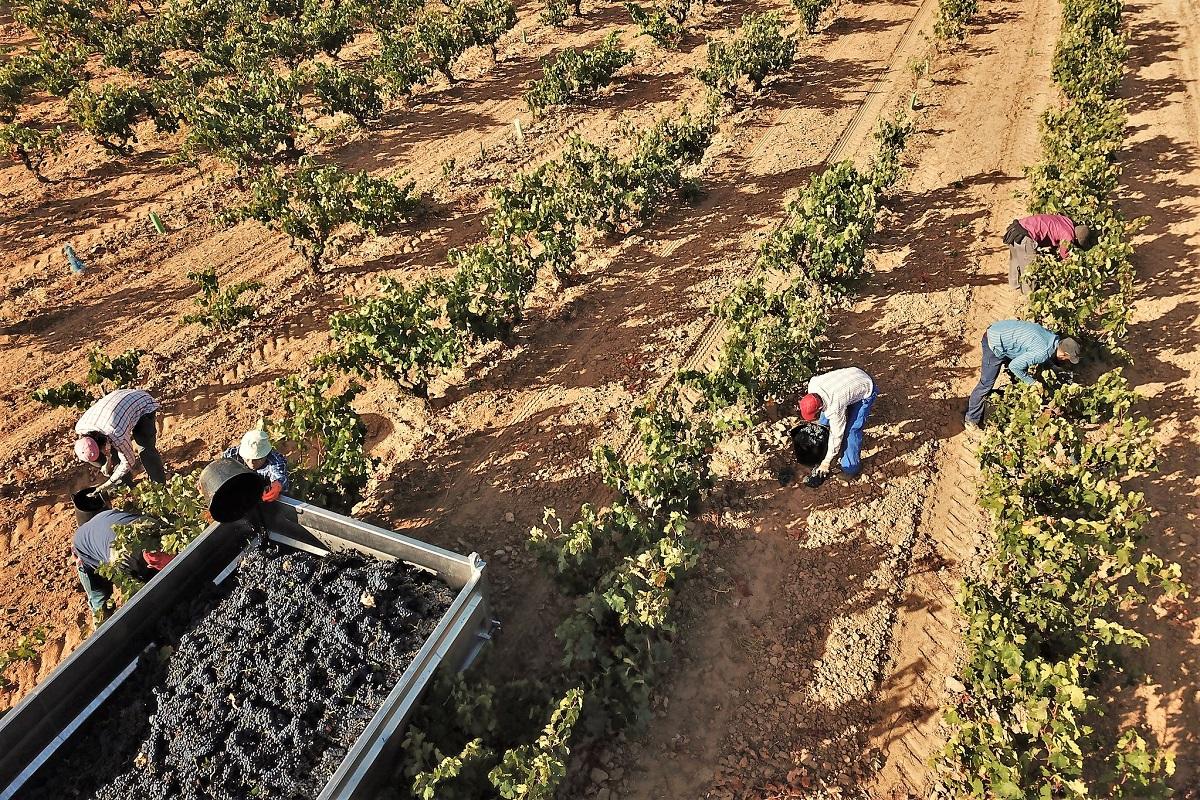 Ribera del Duero Weinernte Handlese Buschreben